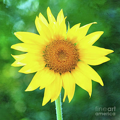 Photograph - Volunteer Sunflower  by Anita Pollak