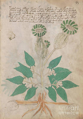 Drawing - Voynich Flora 01 by Rick Bures