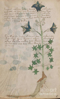 Drawing - Voynich Flora 03 by Rick Bures