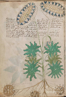 Drawing - Voynich Flora 04 by Rick Bures