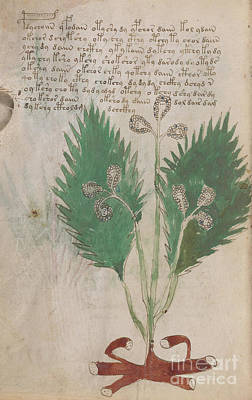 Drawing - Voynich Flora 08 by Rick Bures