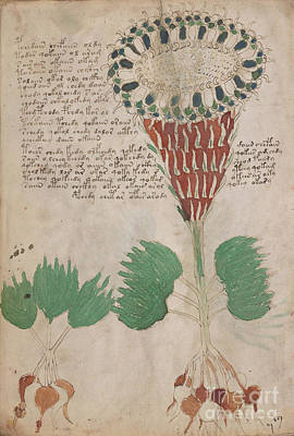 Drawing - Voynich Flora 15 by Rick Bures