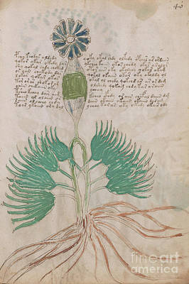 Drawing - Voynich Flora 16 by Rick Bures