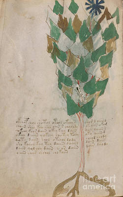 Drawing - Voynich Flora 17 by Rick Bures