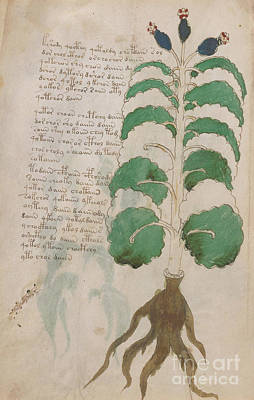 Drawing - Voynich Flora 18 by Rick Bures
