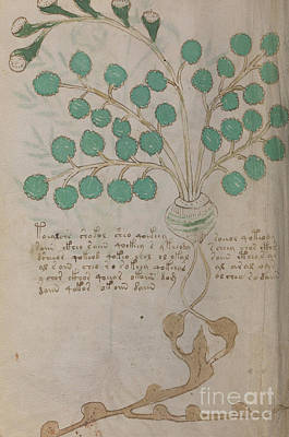 Drawing - Voynich Flora 19 by Rick Bures