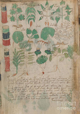 Drawing - Voynich Flora Pharma 06 by Rick Bures