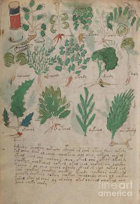 Drawing - Voynich Flora Pharma 10 by Rick Bures
