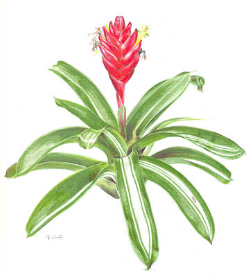 Epiphyte Painting - Vriesea 'gunther' by Penrith Goff