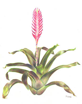 Epiphyte Painting - Vriesea 'purple Cockatoo' by Penrith Goff