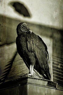 Photograph - Vulture by Cindi Ressler