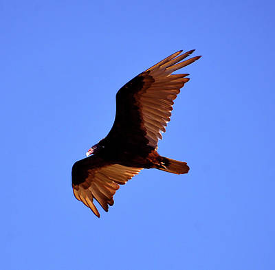 Photograph - Vulture Flying by David Lee Thompson