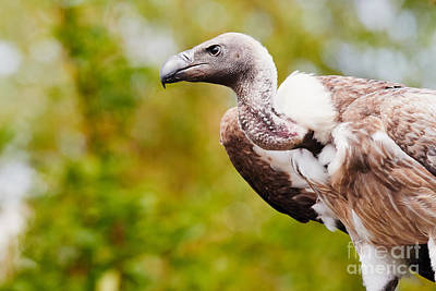 Photograph - Vulture In A Forest by Nick  Biemans