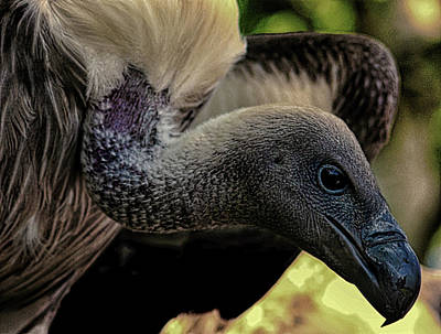 Griffon Wall Art - Photograph - Vulture by Martin Newman
