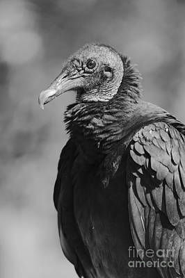 Photograph - Vulture Profile In Black And White by Carol Groenen