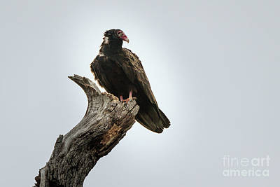 Photograph - Vulture by Richard Smith