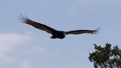 Photograph - Vulture by Toni Berry