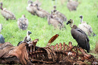 Photograph - Vultures Eating A Wildebeest by RicardMN Photography