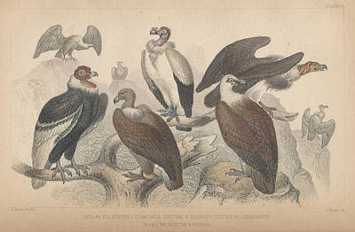 Vulture Drawing - Vultures by Dreyer Wildlife Print Collections