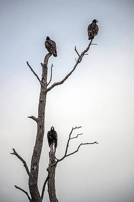 Photograph - Vultures Perched In A Dead Tree by Patrick Wolf