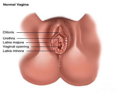 Vulva Photograph - Vulva, Illustration by Gwen Shockey