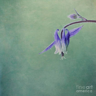 Aquilegia Photograph - Fairy Flower by Priska Wettstein