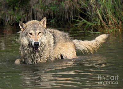 Photograph - Wadding Wolf by Art Cole