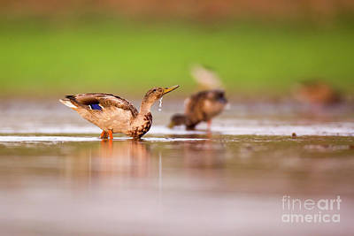 Wading Birds In A Foraging Art Print