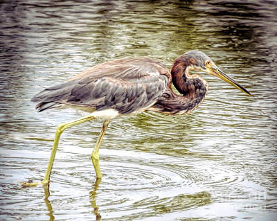 Photograph - Wading Birds - Tricolored Heron by Kerri Farley