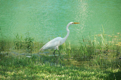 Art Print featuring the photograph Wading Egret by Kathleen Stephens