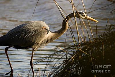 Photograph - Wading Heron by Lara Morrison