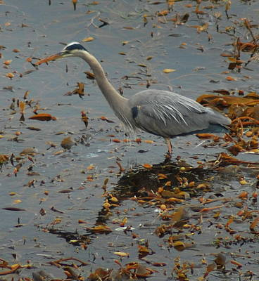 Photograph - Wading Heron by Lawrence Pratt