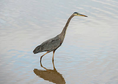 Photograph - Wading Heron by Loree Johnson