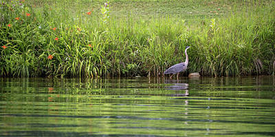 Photograph - Wading Heron by Penny Meyers