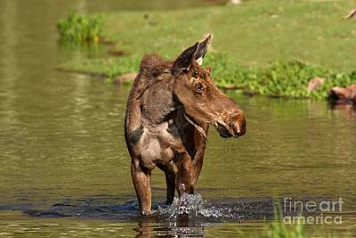 Moose In Water Photograph - Wading In Maroon Lake by Adam Jewell