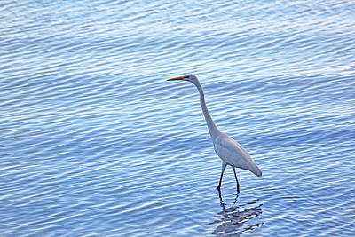 Photograph - Wading In The Blue by HH Photography of Florida