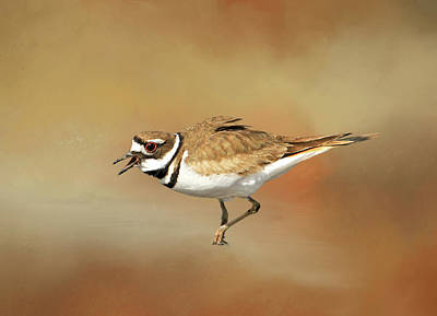 Killdeer Photograph - Wading Killdeer by Donna Kennedy