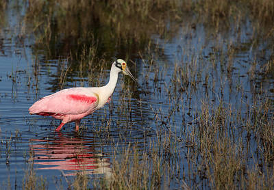 Photograph - Wading Roseate Spoonbill by Jean Clark