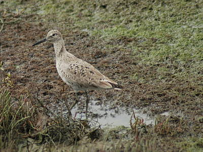 Photograph - Wading Sandpiper by Lawrence Pratt