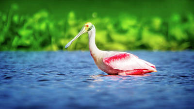 Spoonbill Photograph - Wading Spoonbill by Mark Andrew Thomas