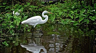 Photograph - Wading Through The Breeding Marsh by Carol Bradley
