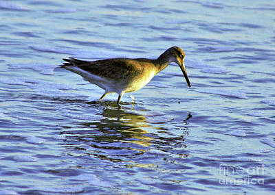 Photograph - Wading To Eat by Lydia Holly