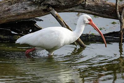 Photograph - Wading White Ibis  by Debra Martz