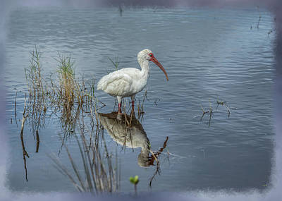 Photograph - Wading White Ibis by John M Bailey