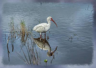Photograph - Wading White Ibis by John M Bailey