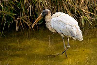 Photograph - Wading Wood Stork by Christopher Holmes