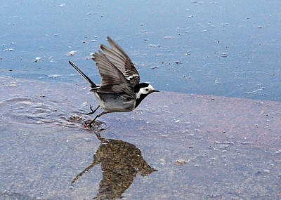 Wagtail At Patriarch's Ponds, Moscow, Russia Original by Yuri Hope