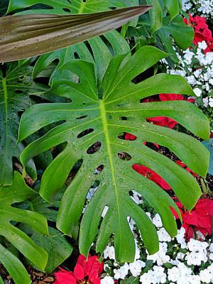 Photograph - Waikiki Split Leaf by Robert Meyers-Lussier