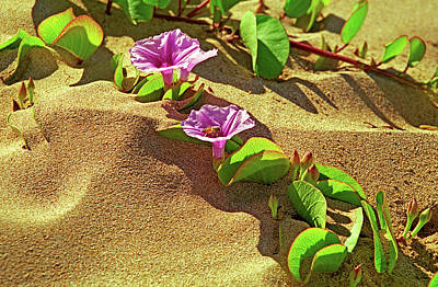 Photograph - Wailea Beach Morning Glory With Honeybee by Marie Hicks