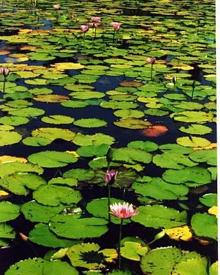 Wailea Water Lilies Art Print by Jennifer Ott